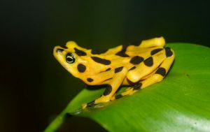 A golden frog in captivity. Image credit: Brian Gratwicke