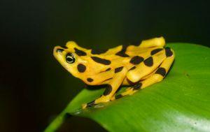 A golden frog in captivity. Image credit: Brian Gratwicke