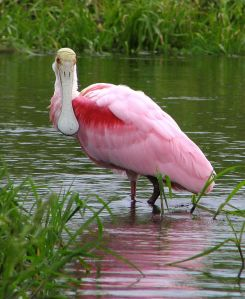 Here's a better spoonbill picture than mine. Image credit: Mwanner