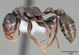 Why don't the spiders like Pseudomyrmex flavicornis? Image source: AntWeb.org