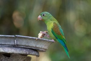 Orange-chinned parakeets sing (and feast) on the outskirts of Panama City.