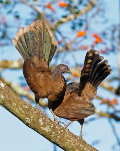 Gray-headed Chachalaca (I put it here because the name is so fun to say). Image credit: Joseph C Boone