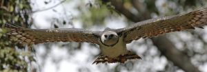 The harpy eagle, considered a symbol of Panama, is getting harder and harder to find. Image credit: Mdf