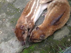 These large rodents, called conejos pintados, are also hunted for their meat. The problem is made worse because the only have one baby at a time, so their population has trouble bouncing back.