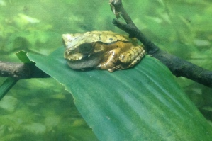 One of the frogs at the El Valle Zoo,