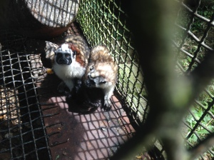 Small monkeys, like these cotton top tamarins, are often caught for the pet trade, but they usually live very unhappy lives in a cage.