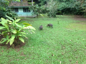 Collared peccaries grazing on the Station grounds.