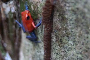 Oophaga pumilio, the strawberry poison dart frog, right here at La Selva!