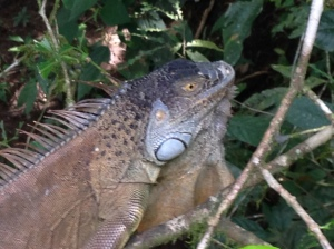 Please don't confuse this green iguana with Iguanodon.