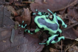 The green and black poison dart frog.