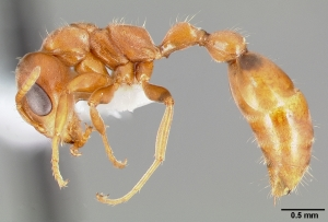 Pseudomyrmex nigrocinctus is equally mean.