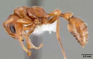 Pseudomyrmex spinicola, not a pleasant species.