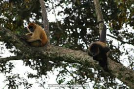 Spider monkeys (Ateles geoffroyi). Image credit: anywherecostarica.com