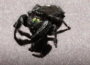 And Phidippus audax were just as easy to find as they are in New Jersey and Pennsylvania. I think that the Oklahoma ones were bigger, though.